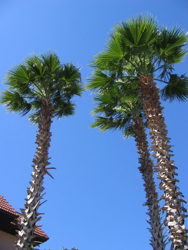 Palm trees at resort